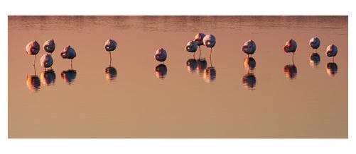 Flamands roses sur l'étang de l'Or - Carte postale panoramique 10x23 cm - Photographe: Marianne Raous